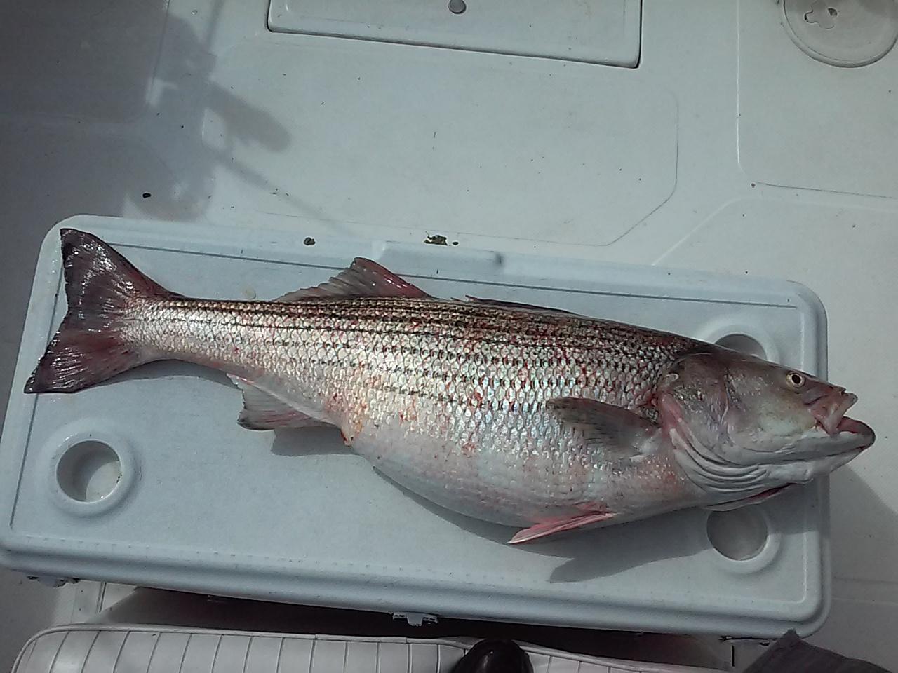 Hudson river striper report includes this fish